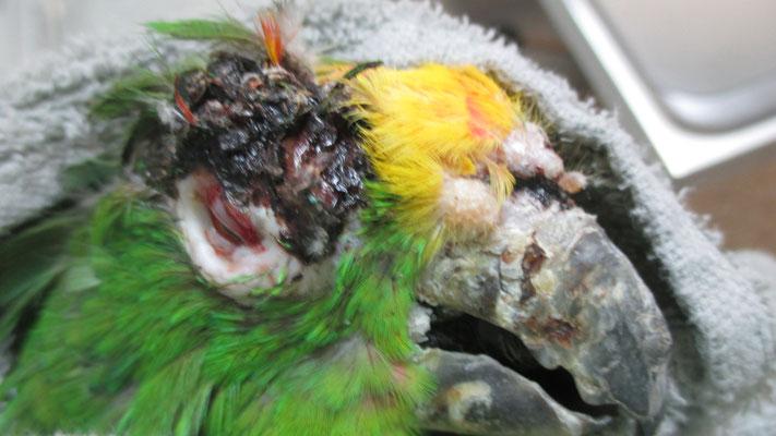 Amazone mit Bissverletzung am Auge: vor der Behandlung