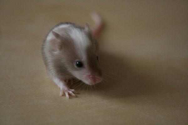 Junge Sepia Piebald Maus