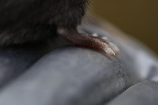 Auch weiße Zehen sind ein Hinweiß auf Piebald oder eine andere Scheckungsform