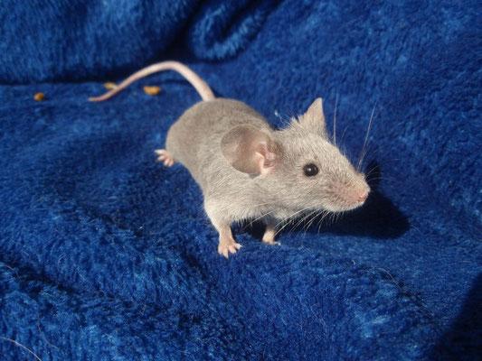 Blue Silveragouti - Danke an gesunde-kleintierzucht.jimdo.com für das Bild!