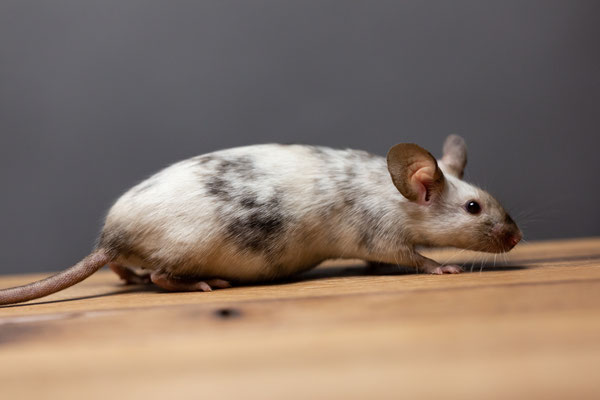 Himalayan Splashed - man sieht deutlich, dass die Maus allgemein deutlich dunkler ausgeprägt ist