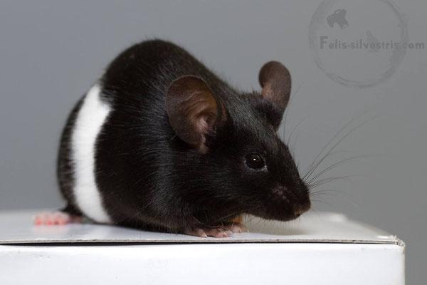 Diese Maus ist korrekt als Banded bezeichnet. Ihre Füße  sind weiß gefärbt und die Zeichnung beschränkt sich auf ein weißes Bauchband. Hier liegt die W(bd) Mutation vor.