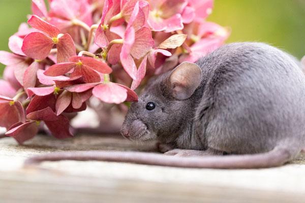 Maus mit abgefressenen Tasthaaren