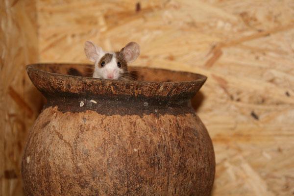 Bei dieser Maus ist ein Ohr von der Scheckung betroffen. Sie sollte nicht zur Zucht eingesetzt werden