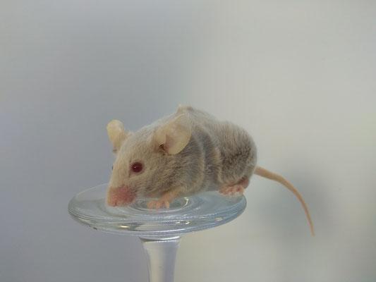 Maus mit abgefressenen Tasthaaren - Danke für das Bild an Mareike Brinker von Heaven and Hell Mousery!