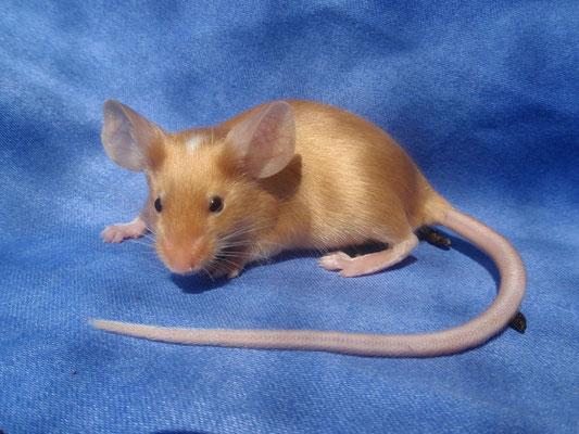rec. Red Headspott - Danke für das Bild an gesunde-kleintierzucht.jimdo.com!