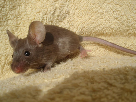 Vier Wochen Alter Burmese - Danke an gesunde-kleintierzucht.jimdo.com für das Bild!