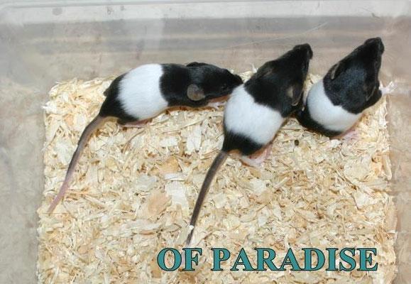 Black Banded Jungtiere, wie von Zuchtstandards gewünscht - Danke für das Bild an Farbmauszucht.de!