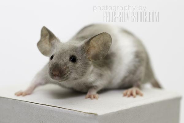 Obwohl diese Maus ein weißes Bauchband hat, hat es nichts mit der Banded Färbung zu tun sondern wurde durch Piebald erzeugt.