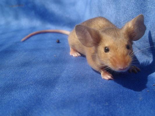 rec. Red - Danke für das Bild an gesunde-kleintierzucht.jimdo.com!