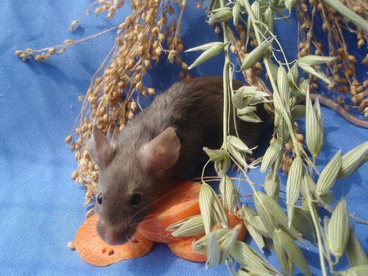 Burmese - Danke an gesunde-kleintierzucht.jimdo.com für das Bild!