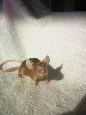 Argente Satin - Danke für das Bild an Mel von Gesunde-Kleintierzucht.jimdo.com!