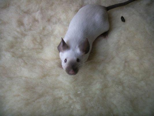 Siam Seal Point - Danke für das Bild an gesunde-kleintierzucht.jimdo-com