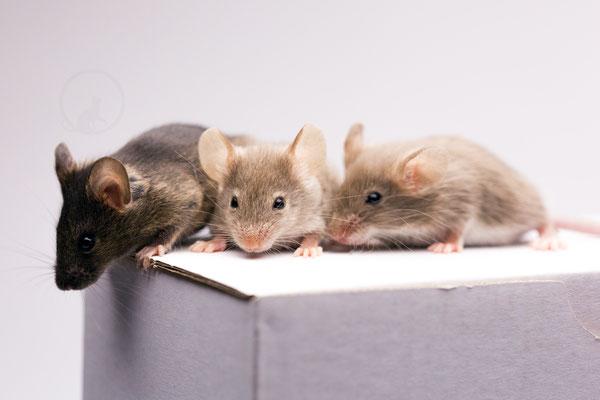 von rechts nach links: Agouti, Sepia White Agouti, Sepia Fox