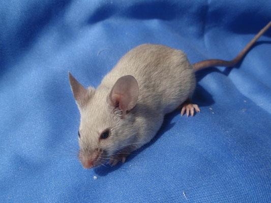 Blue Silvered Burmese - Danke für das Bild an gesunde-kleintierzucht.jimdo.com!