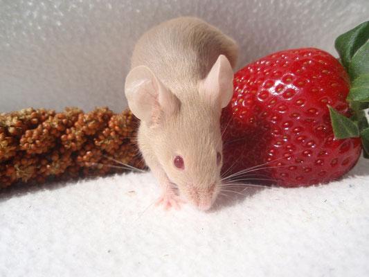 Halbstarke Blue Argente - Danke an gesunde-kleintierzucht.jimdo.com für das Bild!
