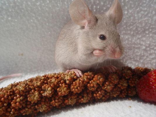 Cinnamon Burmese - Danke für das Bild an gesunde-kleintierzucht.jimdo.com!