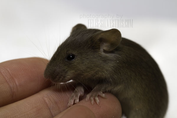Golden Agouti Welpe