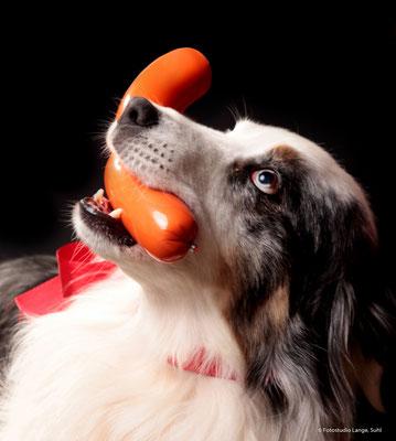 Hund mit spielzeug ,  Tier  , Fotohaus Lange , Thüringen Suhl