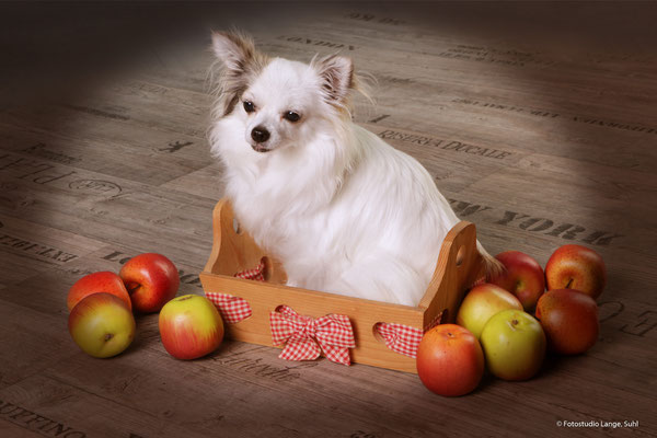 Hund in korb , mit äpfeln geschmückt , Tier , FotoHaus Lange , Thüringen Suhl