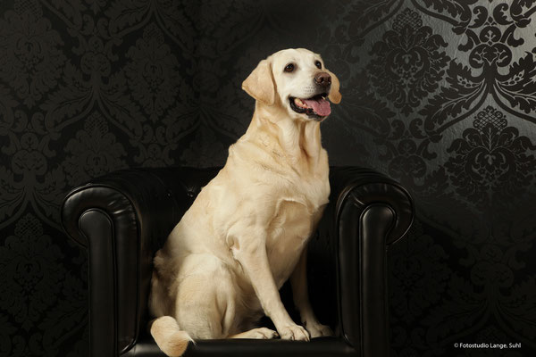 Thüringen Suhl , Weißer Labrador , Hund , Hund mit Stuhl , Tier , Fothaus Lange