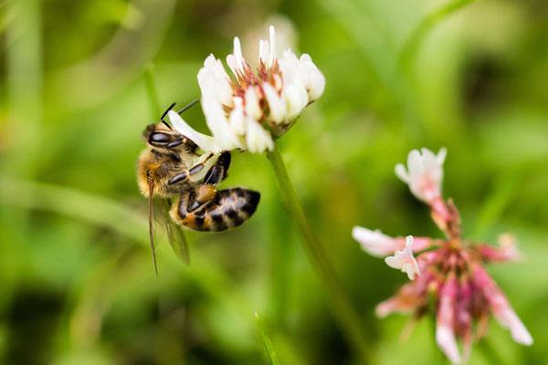 © Sven Lewerenz / Die Kassler Biene {EOS 600D; f3,5;1/250}