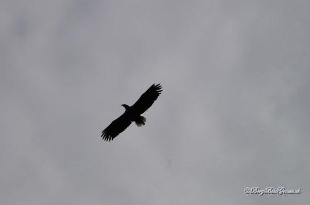 Seeadler im Anflug