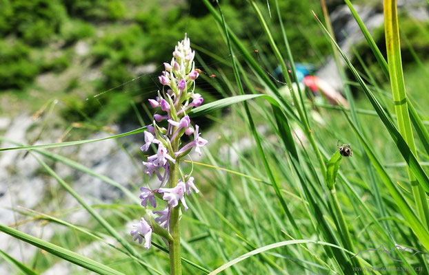 Wunderbare Orchis...es sollte nicht die einige sein...