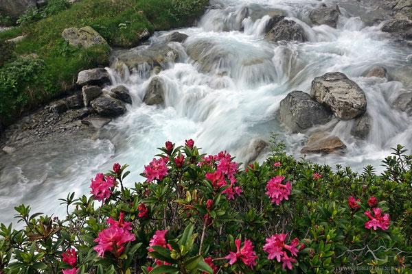 Alpenrosen und Schmelzwasser