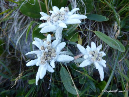 Edelweiss - an den Chilchbergen in Hülle und Fülle vorhanden