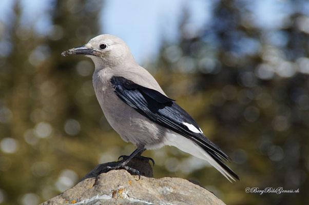 Kiefernhäher (Nucifraga Columbiana)