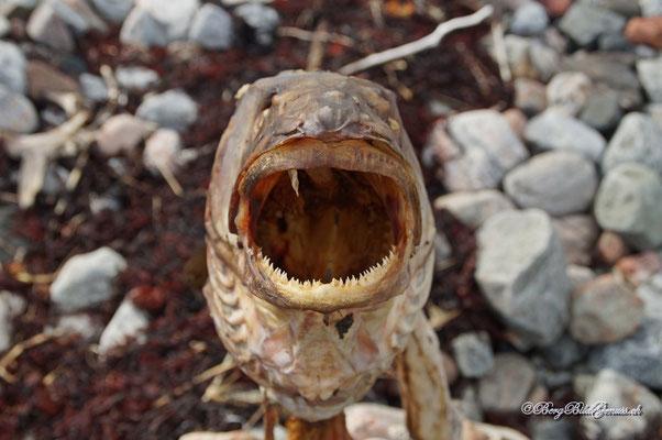 Fischkopp II