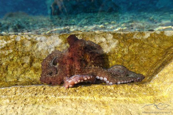Octopussi II