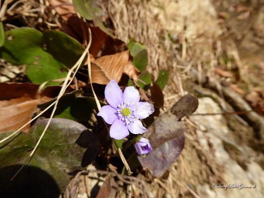 Leberblümchen...eigentlich ein Frühlingsbote