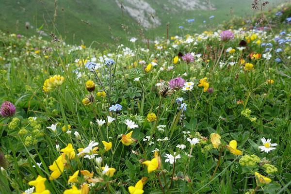 Bunte Alpwiesen
