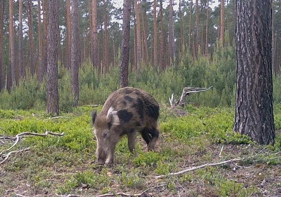 geschecktes Wildschwein