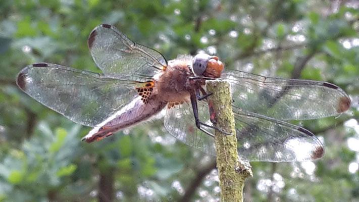 Libelle im Wildreich