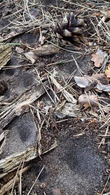 Die Fallen vom Ameisenlöwen