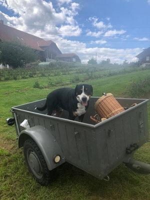 Sennenhund vom petershof-kärselen in Uebeschi bei Thun