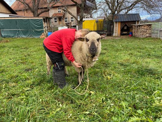 Schafe vom petershof-kärselen in Uebeschi bei Thun