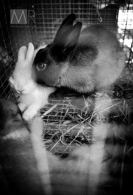 L'ultimo bacio - Conigli in attesa di essere venduti - Francia anni '90