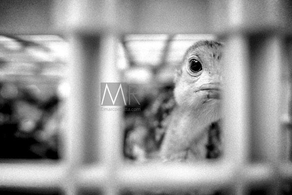 Anatre attendono in gabbia di essere vendute - Francia anni '90