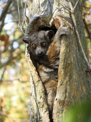 2. Lemur nocturno