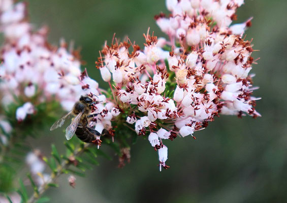 44. Abeja sobre Erica multiflora