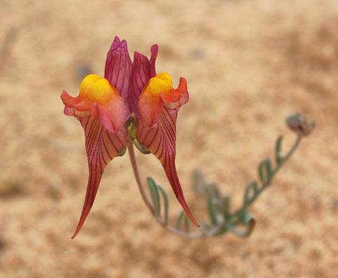 58. Linaria depaupera hegelmaieri