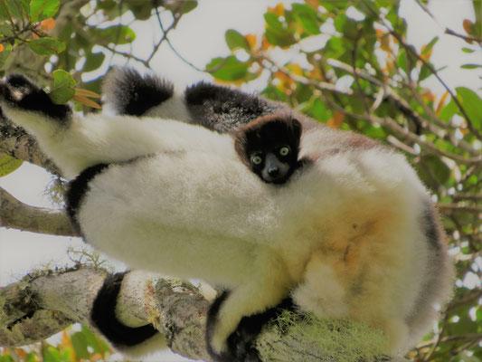 1. Indri indri