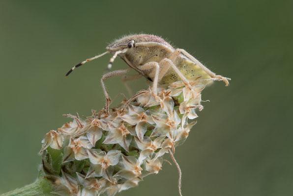 7. Pentatomidae