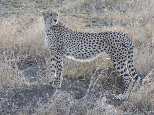 11. Guepardo, Serengueti