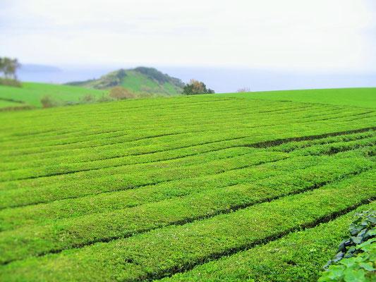 54. Campos de té en San Miguel (Azores)