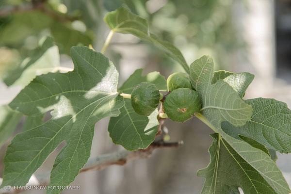 feigenbaum in maienfeld